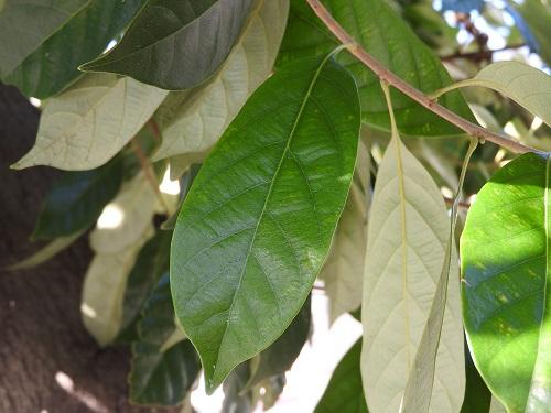 シリブカガシの画像 p1_20